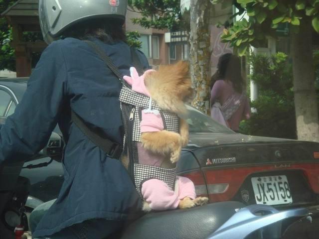 Bolsa Para Carregar Cachorro Na Moto : Transportar c?es em moto ? permitido eriton motos